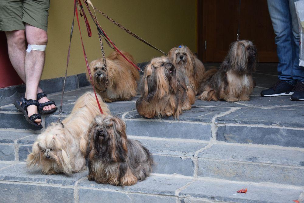 Tamerlan Lhasa Apso